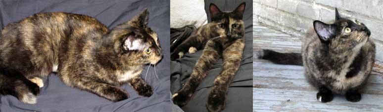 cat lost Rosemont