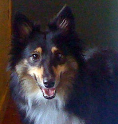 Sheltie found Montreal
