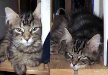 lost cat Hochelaga