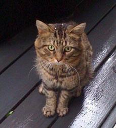 cat found Baie-d'Urfe