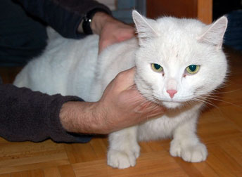 cat found in St-Bruno