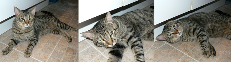 cat found Vaudreuil-Dorion