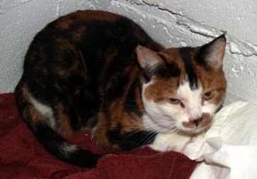 cat found in Baie-d'Urfe