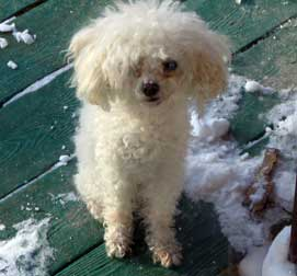 Miniature poodle lost Rigaud
