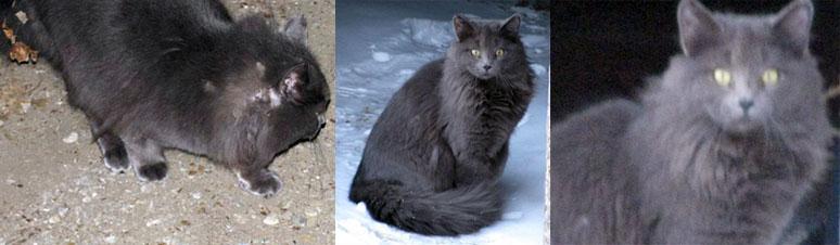 cat found in St-Zotique