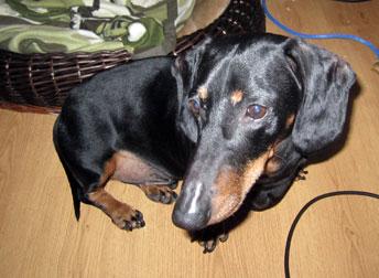 dog found N.D.G. - dachshund