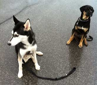 dogs found in Lasalle