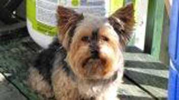 Yorkie found in Montreal