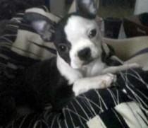 lost Boston terrier