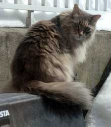 cat lost Old-Longueuil