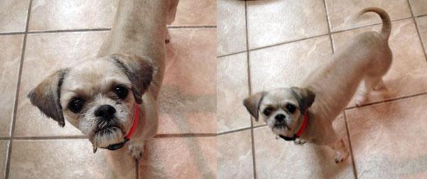 dog found Hochelaga-shih tzu