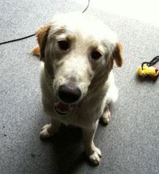 dog found in Laval-retriever