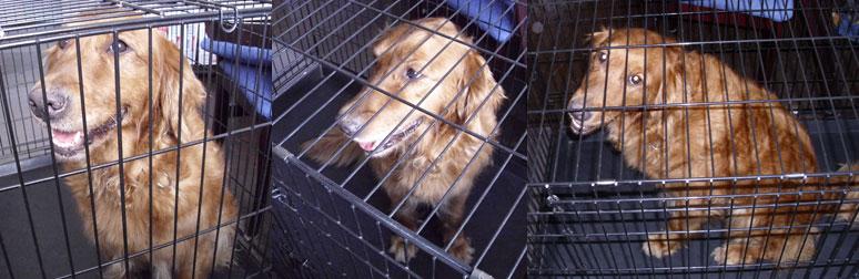 dog found in St-Lambert