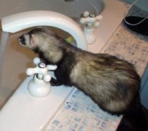 Ferret lost in DDO