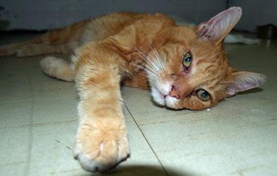 cat found in Baie-dUrfé