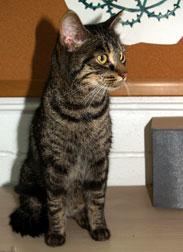 cat found in Baie-d'Urfé