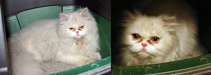 Persian cat found in Mercier