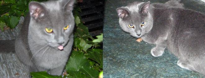 cat found in the Plateau grey