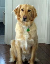 dog lost in Boucherville