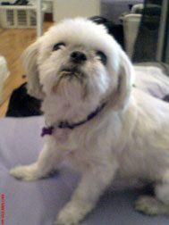shih-tzu lost in Chomedey