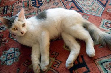 kitten found in St-Henri