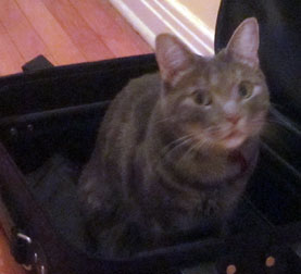 cat lost in Edouard-Montpetit