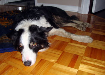dog found in Chateauguay
