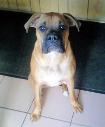 boxer found