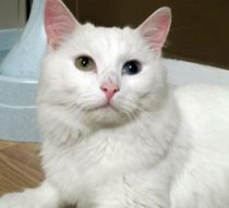 white cat found in Longueuil
