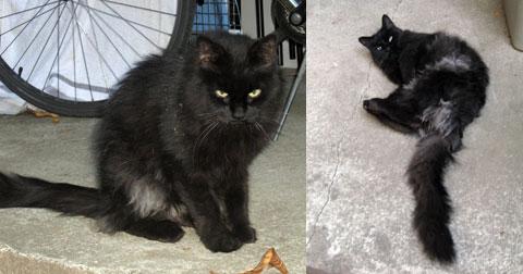 cat found in the Plateau - black
