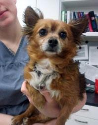 dog found Beaconsfield - chihuahua