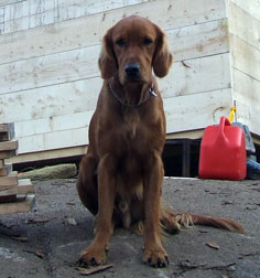 Retriever lost in the Mile End