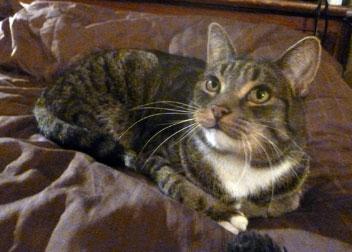 cat found in Côte-des-Neiges