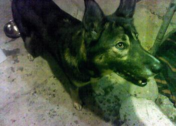 dog found in the Montérégie