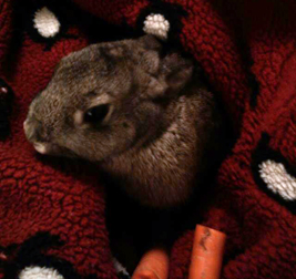 rabbit found in Dorval