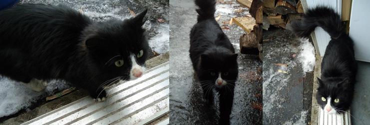 cat found in Île-Perrot