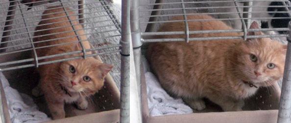 cat found-Pointe St-Charles