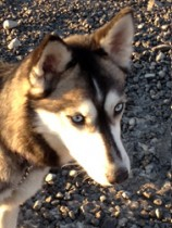 husky found Chateauguay