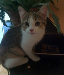Kitten found in Lachine