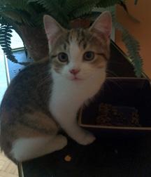 Kitten found in Lachine