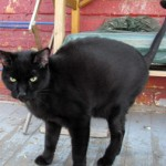 Black cat found in Rosemont