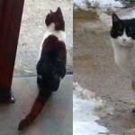 tuxedo cat found in Hochelaga