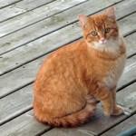 Orange cat found in Mont-St-Grégoire