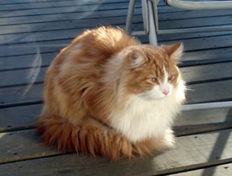 cat found in Ste-Dorothee