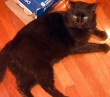 cat found in Ste-Martine