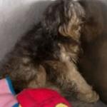 Injured Lhasa Apso found in Rosemont