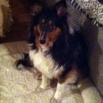 sheltie found in St-Leonard