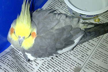 cockatiel found in Longueuil