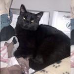 black cat found in Laval