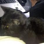 cat found in Laval-des-Rapides